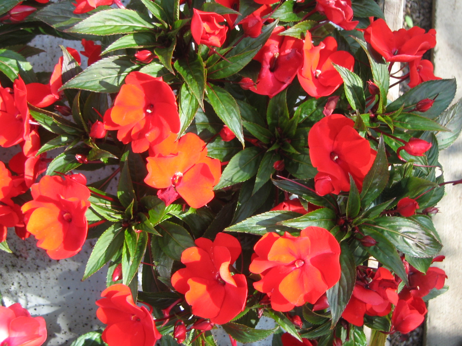 Plants n gardens for New guinea impatiens